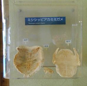 亀の骨格.jpg