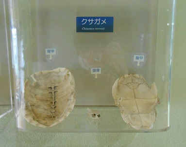 亀の骨格2.jpg